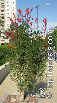 Erythrina humeana - Dwarf coral tree  Click to see full-size image