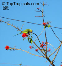 Erythrina lysistemon, Scarlet Coral Tree  Click to see full-size image
