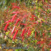 Fouquieria macdougalii, Mexican Tree Ocotillo  Click to see full-size image