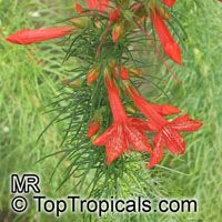 Ipomopsis rubra, Gilia rubra, Standing Cypress, Scarlet Gilia  Click to see full-size image