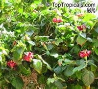 Hibiscus elatus, Mahoe, Majagua  Click to see full-size image