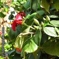 Hibiscus elatus, Mahoe, MajaguaClick to see full-size image