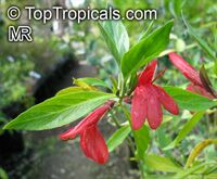 Justicia sericea (?), Justicia   Click to see full-size image