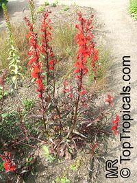 Lobelia cardinalis, Cardinal Flower  Click to see full-size image