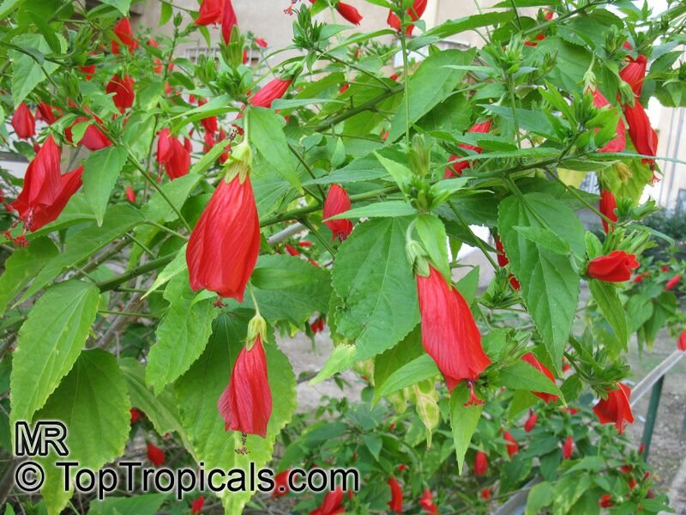 Malvaviscus Arboreus Penduliflorus Sleepy Hibiscus