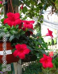 Dipladenia sanderi, Mandevilla sanderi, MandevillaClick to see full-size image
