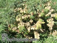Melianthus comosus, Honey Flower  Click to see full-size image