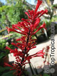 Odontonema cuspidatum, Odontonema strictum, Fire Spike  Click to see full-size image