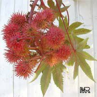 Ricinus communis - seeds  Click to see full-size image