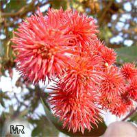 Ricinus communis, Castorbean, Castor Oil plant, Palma Christi, Ricin, Wonder tree, Krapata  Click to see full-size image