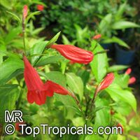 Ruellia elegans, Red ruellia  Click to see full-size image