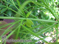 Russelia equisetiformis, Firecracker Fern, Coral Plant