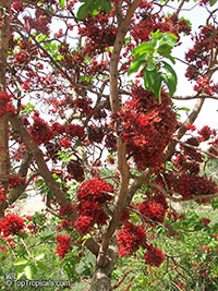 Schotia brachypetala, Weeping Boer-bean, Huilboerboon, Tree Fuchsia, African Walnut  Click to see full-size image