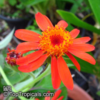 Senecio confusus, Pseudogynoxus confusus, Pseudogynoxus chenopodiodes, Mexican Flame Vine, Orangeglow Vine  Click to see full-size image