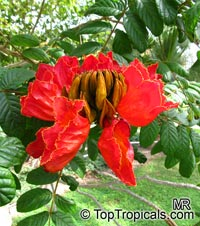 Spathodea campanulata, African Tulip Tree, Scarlet Bell Tree, Fountain Tree  Click to see full-size image