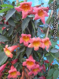 Bignonia capreolata, Crossvine  Click to see full-size image
