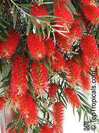 Callistemon citrinus (Melaleuca citrina) - Weeping Red Bottlebrush  Click to see full-size image
