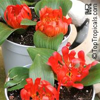 Daubenya aurea, Daubenya  Click to see full-size image