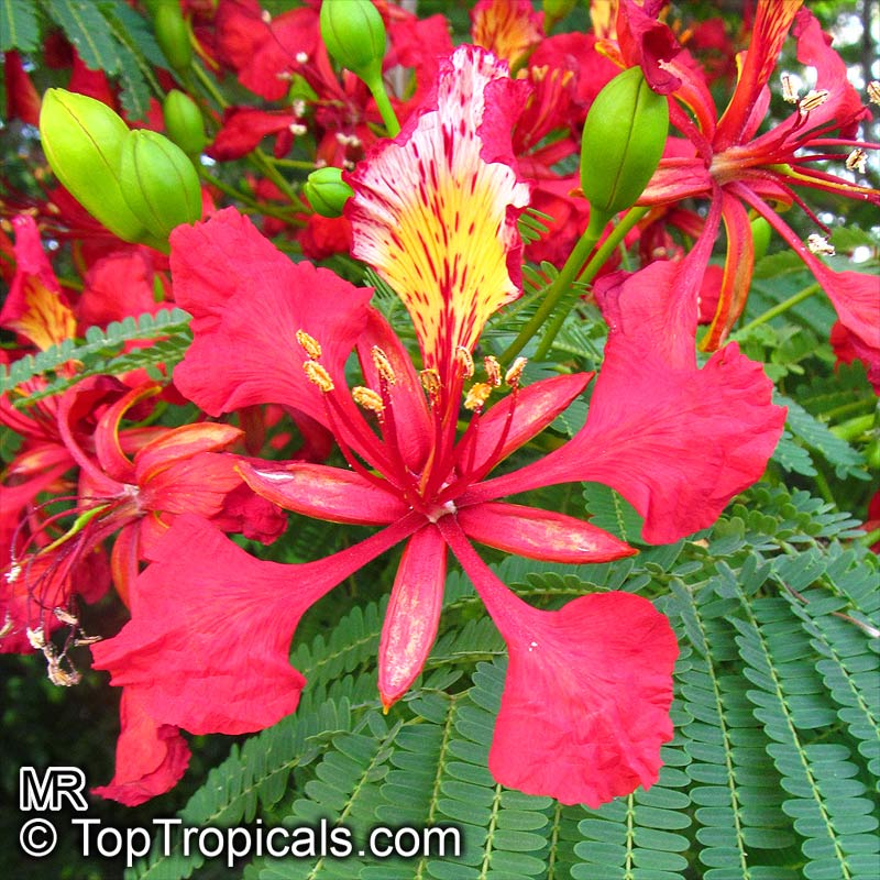 delonix regia flame tree royal poinciana   toptropicals
