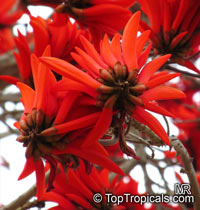 Erythrina lysistemon - seeds  Click to see full-size image