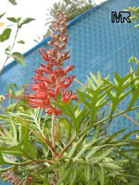 Grevillea Robin Gordon, Robin Gordon Grevillea  Click to see full-size image