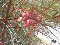 Grevillea johnsonii, Grevillea  Click to see full-size image