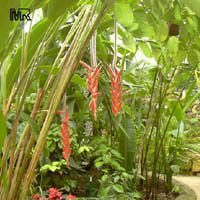Heliconia vellerigera, Heliconia