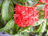 Ixora coccinea, Jungle flame, Needle flower, Flame of the Woods, Jungle Geranium  Click to see full-size image