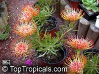 Leucospermum lineare, Needle-leaf Pincushion  Click to see full-size image
