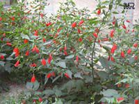 Malvaviscus arboreus penduliflorus, Sleepy Hibiscus, Mexican Turk's CapClick to see full-size image