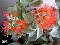 Metrosideros Thomasii, New Zealand Christmas Bush, Metrosideros Springfire, Ohia-Lehua  Click to see full-size image