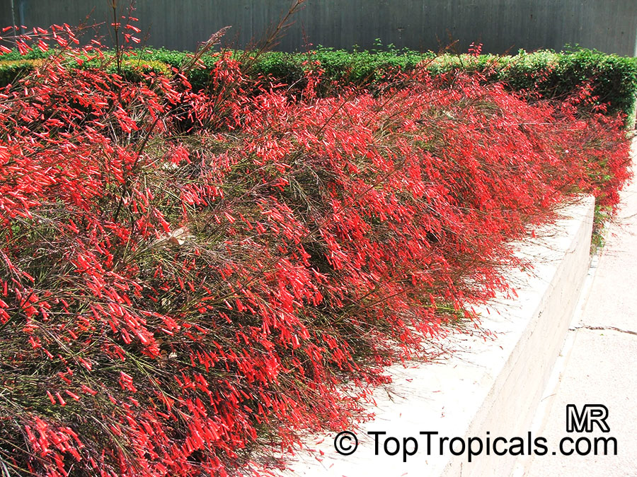 Russelia Equisetiformis Firecracker Fern Coral Plant