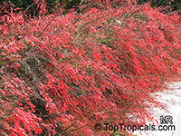 Russelia equisetiformis, Firecracker Fern, Coral Plant  Click to see full-size image