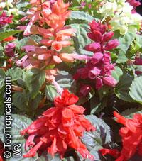 Salvia splendens, Scarlet SageClick to see full-size image