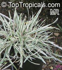 Acorus gramineus variegatus, Sweet Flag  Click to see full-size image