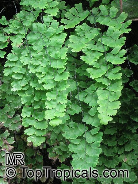 adiantum sp   maidenhair fern