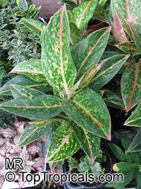 Aglaonema sp., Chinese Evergreen - TopTropicals.com