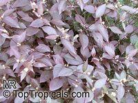 Alternanthera dentata, Joseph's Coat, Calico plant, Copperleaf, Bloodleaf, Joyweed, Parrot leafClick to see full-size image