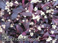Alternanthera dentata, Joseph's Coat, Calico plant, Copperleaf, Bloodleaf, Joyweed, Parrot leaf  Click to see full-size image