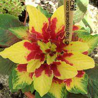 Amaranthus tricolor, Joseph's coat, Fountain plant  Click to see full-size image