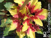 Amaranthus tricolor, Joseph's coat, Fountain plant