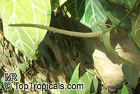 Anthurium clarinervium, White-Veined Anthurium  Click to see full-size image