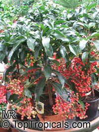 Ardisia macrocarpa (crenata) - seeds  Click to see full-size image