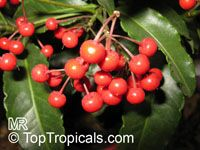 Ardisia crispa - seeds  Click to see full-size image