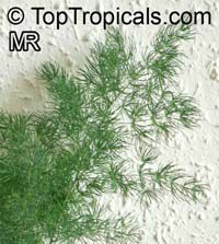 Asparagus umbellatus, Asparagus Fern  Click to see full-size image