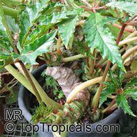 Begonia carolineifolia, Palm-leaf Begonia  Click to see full-size image
