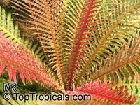 Blechnum brasiliense, Red Dwarf Tree Fern, Red Brazilian Tree Fern   Click to see full-size image