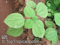 Boehmeria nivea, Boehmeria tenacissima , Chinese grass, Chinese Silk Plant, Ramie  Click to see full-size image