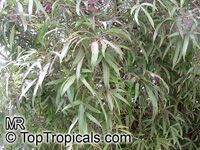 Brachychiton rupestris, Queensland Bottle Tree