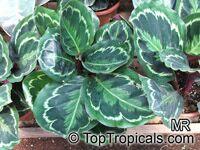 Calathea roseopicta, Calathea  Click to see full-size image